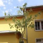 Der Holunderbaum in der Kita Hollerbusch.