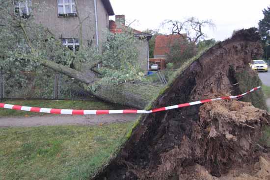Ein umgestürzter Baum in der Rosa - Luxemburg - Straße (Foto:mwBild)