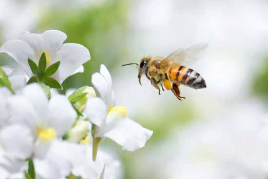 """Warum """"heimisch"""" für Bienen nicht immer gut ist"""
