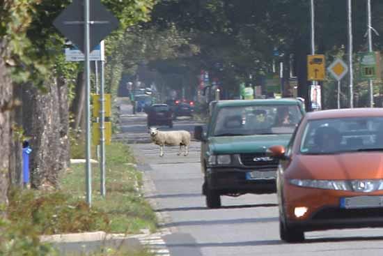 Eichwalde/Schulzendorf: Schafe lösen Polizeieinsatz aus
