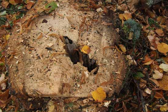 Klimaschützer wollten die kranken Bäume erhalten. (Foto: mwBild)